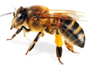 bee-png-8